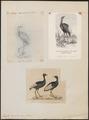 Psophia leucoptera - 1700-1880 - Print - Iconographia Zoologica - Special Collections University of Amsterdam - UBA01 IZ17300057.tif