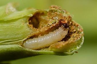 Psylliodes chrysocephala larva (31827378971).jpg