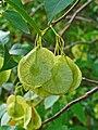 Ptelea trifoliata 003.JPG