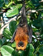 Pteropus seychellensis.jpg