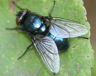 <i>Protophormia terraenovae</i> Species of fly