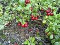 Puolukka ( Cowberry, Брусника ) - panoramio.jpg