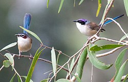 Purple-crowned fairy m+f.jpg