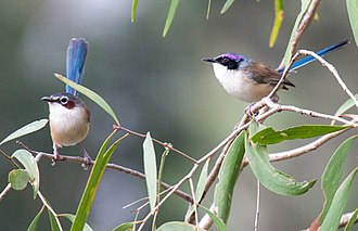 Purple-crowned fairywren - Male and female purple-crowned fairy-wren (race macgillivrayi)