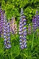 Purple And White Lupine (18501549290).jpg