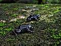 Purple frog babies by Nihal jabin.jpg