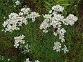 Pycnanthemum virginianum 2016-07-19 2828.jpg