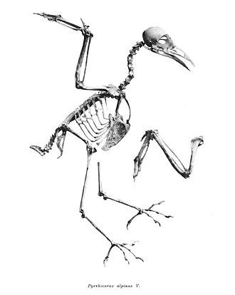 Alpine chough - Skeleton