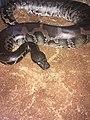 Python curtus4.jpg