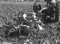 Queensland State Archives 1675 Potato digger harvesting Sebago potato crop 100120 bags to acre c1951.png