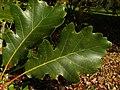Quercus bicolor 002.jpg