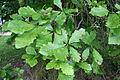 Quercus bicolor JPG1L.jpg