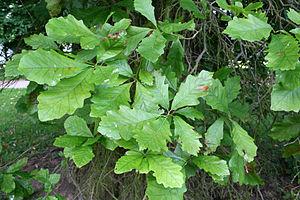 Quercus bicolor - Image: Quercus bicolor JPG1L