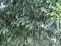 Quercus humboldtii 2.JPG