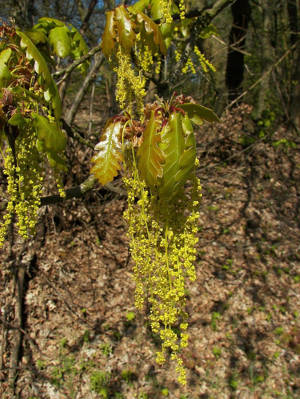 Quercus petraea 04
