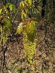 Dub zimný - kvety