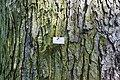 Quercus robur (20150525-DSC05323).jpg