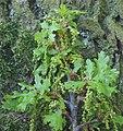 Quercus robur Zomereik bloeiwijze.jpg