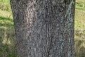 Quercus robur in Aveyron 06.jpg