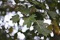 Quercus rubra (4).jpg