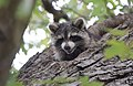 Raccoon (37283485380).jpg