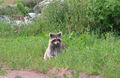 Raccoon (Procyon lotor) eating II.png