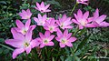 Rain Lily 2.jpg