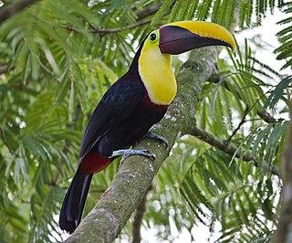 Chestnut-mandibled toucan subspecies of bird