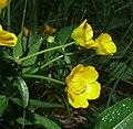 Ranunculus cassubicifolius 040508.jpg