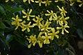 Ranunculus cortusifolius 02.jpg