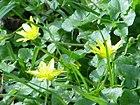 Ranunculus ficaria0.jpg