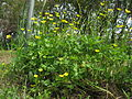 Ranunculus repens plant2 ST (15888304368).jpg