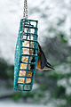 Red-breasted Nuthatch on suet Seattle 2008.jpg