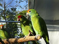 Red-browed Amazon (Amazona rhodocorytha)2.jpg