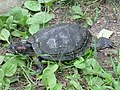 Red-eared slider, Nowe Zoo Poznań 3.JPG