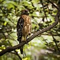 Red-shouldered hawk (8224327369).jpg