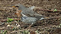Red-throated Thrush.jpg
