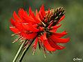Red Flower From Munnar.JPG