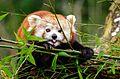 Red Panda (24535925642).jpg