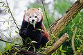 Red Panda (24560446251).jpg