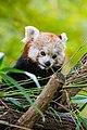 Red Panda (24676724788).jpg