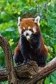 Red Panda (26245555409).jpg