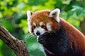 Red Panda (26245591919).jpg