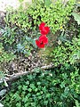 Red Poppy in Jordan.jpg