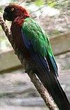 Red Shining-parrot.jpg