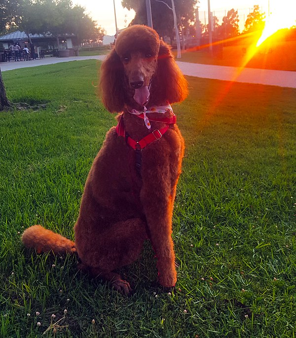 Red Standard Poodle by Don Ramey Logan