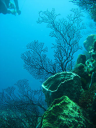 Caribbean Sea - Coral reef, near Soufrière Quarter, Saint Lucia