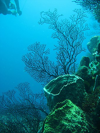 Coral reef, near Soufriere Quarter, Saint Lucia Reef 247.jpg