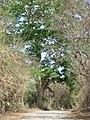 Reliquia de arbol grande ,cerca de Talcualuya - panoramio.jpg