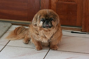 English: Pekingese, Chinese Dog Breed, Lion Dog